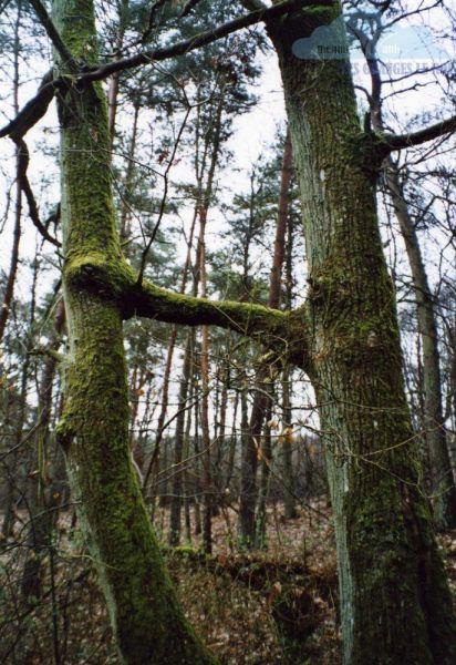 les-arbres-maries
